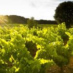 Vignes et soleil